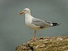 04-18-Herring Gull
