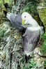 06-19-Kittiwakes bonding